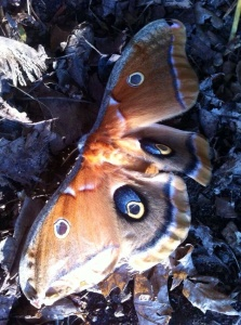"This female polyphemus moth, newly emerged from the leaf litter near our woodpile, is displaying her blue""eyes""."